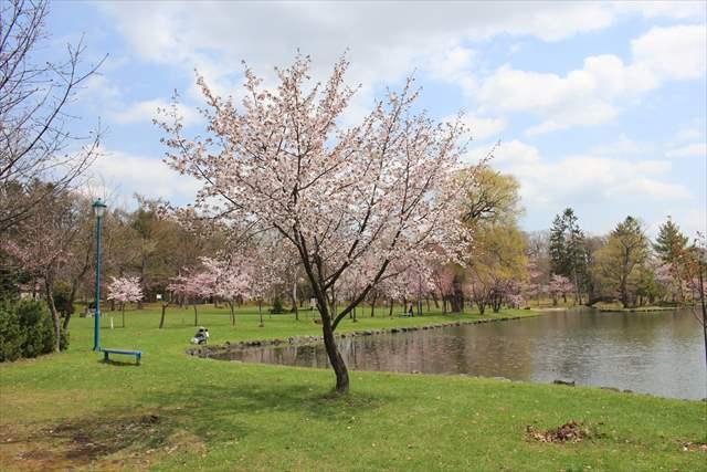 名寄市内 桜の開花状況